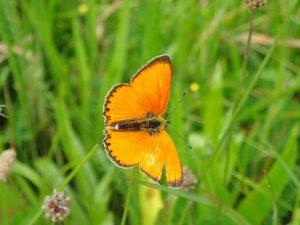 dukat-sommerfugle-han-3