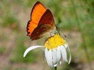 dukat-sommerfugle-han