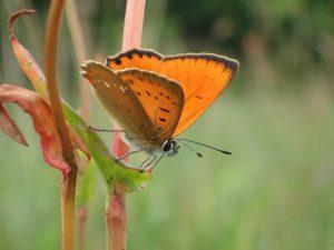 dukat-sommerfugle-han2